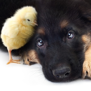 Chick and dog