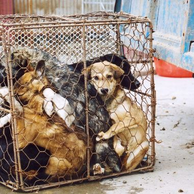 Annual Yulin Dog Meat Festival in China