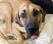 Golden Great Dane