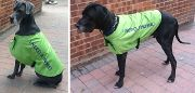Great Dane in Neon coat