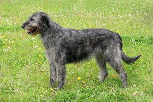 Adult Large Breed