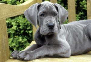 Large Breed Puppy
